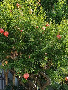 """Choose a variety. Punica granatum is a small deciduous tree. It will grow to about 2.5 metres tall, with orange flowers during the summer season. The dwarf variety """"Nana"""" will grow shorter, to about 1 metre. Or, you might like the frilly flowers that grow on the """"Beautiful"""" variety."""