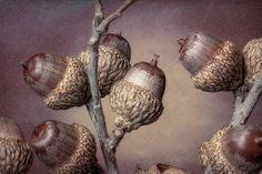 Acorn Branch Art Print by Tom Mc Nemar. All prints are professionally printed, packaged, and shipped within 3 - 4 business days. Choose from multiple sizes and hundreds of frame and mat options. Branch Art, Thing 1, Living Room Art, Acorn, All Print, Fine Art America, Toms, Design Inspiration, Prints