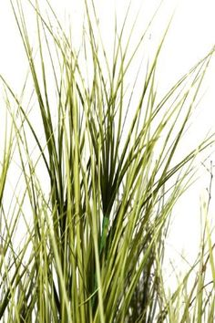 Laura Ashley 69 Inch Tall Onion Grass with Twigs in 13 Inch Fiberstone Planter >>> Read more  at the image link.