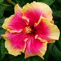 Exotic Hibiscus 'Rainbow Kiss'