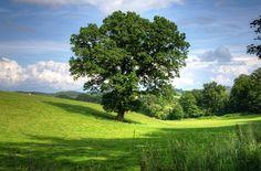 Tree, Oak, Landscape, View, Field, Scenic, Countryside