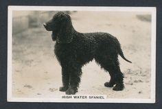Irish Water Spaniel from series Dogs by Senior Service Cigarettes card #27