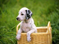 Siempre que se habla de los perros se piensa que son los mejores amigos del hombre; son animales inteligentes y fieles a sus amos, sirven desde el manejo de ganado, competencias y hasta para detectar droga. Hicimos una lista de los perros más vendidos en el mundo.  1. Labradores