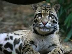 Clouded Leopard (Neofelis nebulosa) are listed by the IUCN as animals that are Vulnerable to extinction from their natural habitats in the near future. Leopard Cub, Clouded Leopard, Snow Leopard, National Geographic Wild, Atlanta Zoo, Panthera Pardus, Toy Dog Breeds, Save Wildlife, Rare Animals