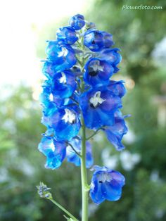 delphinium flowers....@Audra Wruth...perfect for large arrangements, also...can be taken apart to make small little blue single flowers in bouquets and corsages.  I like!!
