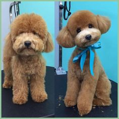 Results of the picture for the preparation of Cockapoo earlier than and after Maya . Informations About Picture Outcome For. Dog Grooming Styles, Dog Grooming Tips, Creative Grooming, Pet Tips, Cockapoo Grooming, Poodle Grooming, Cockapoo Haircut, Maltipoo, Cavapoo