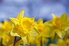 Daffodil.  What a beautiful picture!