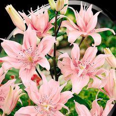 Lilja, Spring Pink-Lök till Lilja Spring Pink
