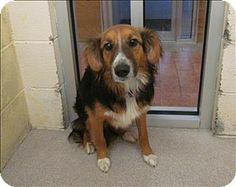 Birmingham, AL - Sheltie, Shetland Sheepdog/Terrier (Unknown Type, Medium) Mix. Meet Bullwinkle a Dog for Adoption.