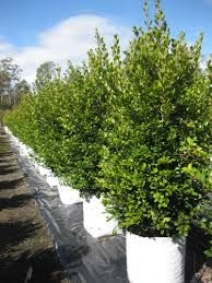 "Syzygium 'Resilience Lilly pilly ""Resilience"" is fast growing and will grow to a height of around 4m. It makes a good trimmed hedge from around 1.5m to 3m."