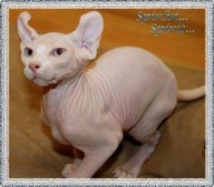 Elf cat Elf Cat, Sphynx Cat, Cat Breeds, Cute Cats, Kitty Kitty, Animals, Pretty Cats, Cat, Animales