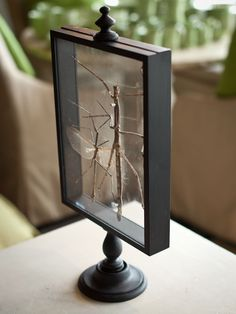 Mounted stick insects inside a wood and glass display case.H 20.50  W 10.00   D  5.00