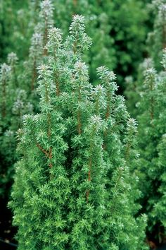 Chamaecyparis thyoides - ht: 4-5 ft, spread: 18-24 in; moist to average soil, full sun; attracts butterflies and songbirds; juvenile foliage has blue cast; striking plum to bronze winter foliage color; slow growing