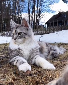 """From """" """" Funny Cat Videos Funny Cat Memes, Funny Cat Videos, Funny Cats, Cute Baby Animals, Animals And Pets, Funny Animals, Maine Coon Kittens, Siberian Cat, Norwegian Forest Cat"""