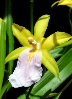 Miltonia regnellii f. citrina by Mat.Tauriello on Flickr