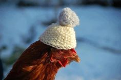 funny? eccentric? yes, but there's good reason for the hilarious look  ...'many charities all over the world ... rescue battery hens from the poor conditions of the factories. However, many of these chickens have no feathers, and this leaves them exposed to the elements. Therefore, knitted goods are required to ensure that the chickens remain warm, which is not as silly as it may seem...' >>> from Unexpected Farmer: Chicken Hat