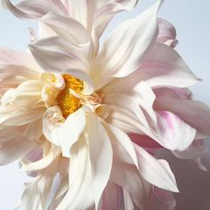  Let's bloom. 🌸  📷 by ruby_marylennox  Love Flowers, Vintage Flowers, My Flower, White Flowers, Flower Art, Beautiful Flowers, Macro Flower, Flower Photos, Planting Flowers