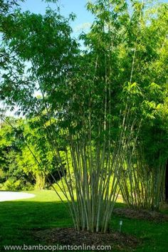 Picture of Angel Mist Bamboo Giant Bamboo, Bamboo In Pots, Bamboo Plants, Bamboo Hedge, Clumping Bamboo, Angel Pictures, Plant Pictures, Ornamental Plants, Tropical Leaves