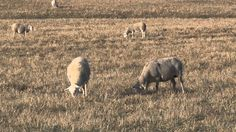 Late-Season #Sheep Grazing to Control Sericea Lespedeza: Part One #KSRE #KState