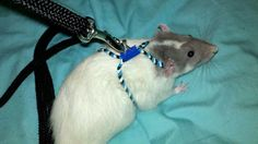 For those who were wondering how I made my rat harness, here is a series of photos and a video that …