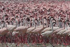 Tanzania's Lake Natron; not as deadly as photographer Nick Brandt portrays. Breeding ground for the lesser flamingo - National Geographic