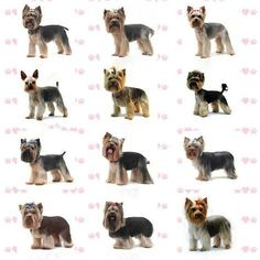 Some dogs have long silky coats - Yorkshire Terriers and Maltese by way of example - and these need special care. They have little protective undercoa. Dog Grooming Styles, Dog Grooming Shop, Dog Grooming Salons, Dog Grooming Business, Yorkies, Yorkie Puppy, Yorky Terrier, Schnauzer Grooming, Yorkie Haircuts