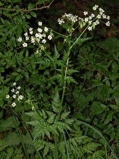 Hundekjeks - Anthriscus sylvestris - Naturfakta Plants, Planters, Herbs