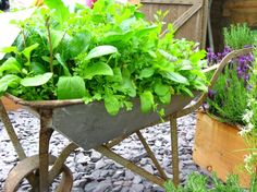 Old wheelbarrow with arugula, lettuce and parsley.