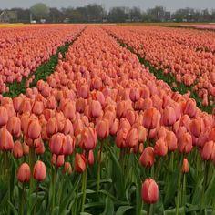 Tulpenfelder in Holland = Frühlingsglück - Tulpe 'Apricot Impression' - Blumenzwiebeln für den Garten gibt's auf www.fluwel.de