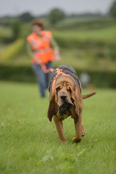 A new charity trains Bloodhounds to find missing dogs Pet Health, Health Tips, Animals Beautiful, Cute Animals, Bloodhound, Police Dogs, Dog Boarding, Hunting Dogs, Bloodhound Dogs
