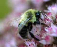 Bumble Bee in Flowers Photograph 6X8 by vgauthier on Etsy, $15.00