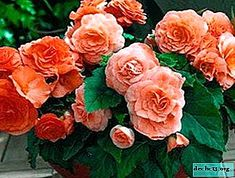 Tuberous Begonia, Propagation, Rose, Flowers, Plants, Pink, Plant, Roses, Royal Icing Flowers