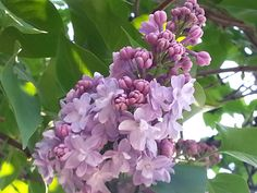 Spring Beauties....Lilac!