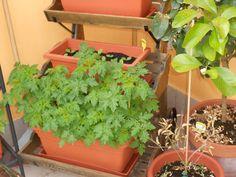 E le piante di pomodori cominciano a farsi notare