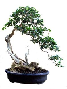 A cascading bonsai tree. How would this look as part of your patio decoration? Pretty cool I would imagine.