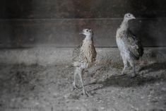 Raising Pheasants: 5 Things I Didn't Know - A Farmish Kind of Life Pheasant Run, Raising Pheasants, Chicken Chick, Game Birds, 5 Things, Beautiful Birds, Homestead Land