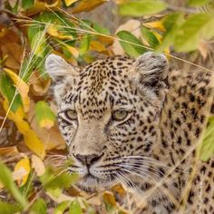Time to go see if we can the #queen of Djuma, Karula the peaceful one! Join us on  #live #african #safari twice a day on www.wildsafarilive.com #safarilive @natgeowild @safariliveofficial #leopard #bigcats #bigcatsofintsgram #instawild #big5