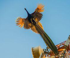 Pavos real volando, by Sachin Kumar