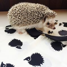 Kyla R.'s hedgehog Ramona has a lot of new friends to make on our Classy Collector Top!