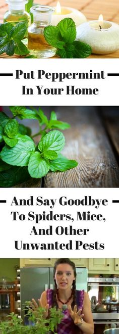 Peppermint essential oil is so versatile. There are so many different uses and benefits of peppermint oil - it can help with pest control (mice, spide. Peppermint Oil Benefits, Peppermint Plants, Peppermint Tea, Peppermint Patties, Bug Control, Pest Control, Mice Control, Organic Gardening, Gardening Tips