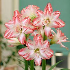 Amaryllis: Get Big, Beautiful Blooms Indoors  - The High Country Gardens Blog