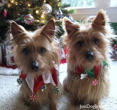All I want for Christmas, more Australian Terriers - my sweet Lucy is an Australian Terrier