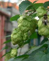 Hops - More than Just an Ingredient in Beer
