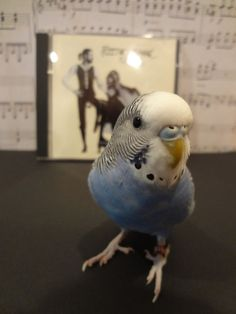 Two of my favorite things: Fleetwood Mac and a budgie
