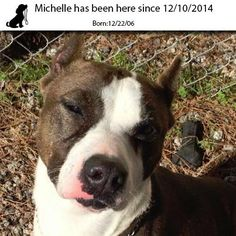 Meet Michelle, a Petfinder adoptable Pit Bull Terrier Dog | Myrtle Beach, SC | This is Michelle...she is a happy and carefree girl despite the fact that someone cut off her ears....