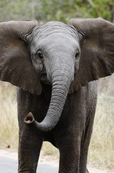 Inquisitive elephant calf