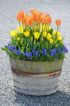 muscari and tulips - a lovely spring expression