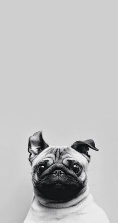 Cute pug. Tap for more Cute Pug Dog HD Wallpapers. - @mobile9 Wallpapers for iPhone 5/5s and iPhone 6/6 Plus. #dog #animals