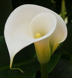 The calla lily (alcatraz) evokes fond memories of Mexico. Elegant Flowers, Exotic Flowers, Fresh Flowers, Colorful Flowers, Beautiful Flowers, Calla Lillies, Calla Lily, Portrait Photography Lighting, Floral Drawing