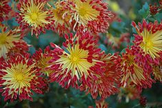 Chrysanthemum Matchsticks  Sunrise is selling this new variety of mum for $6.99.